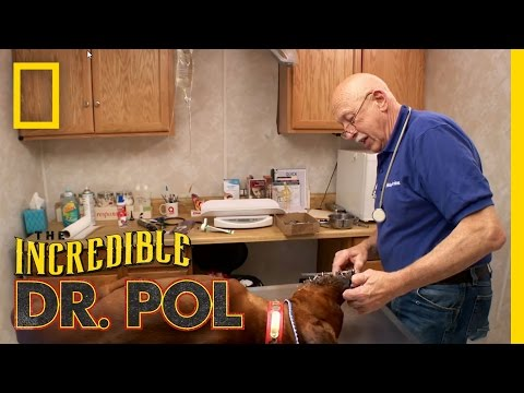 Porcupine'd Pups | The Incredible Dr. Pol