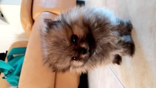 Pomeranian Teddy Bear Teacup Cute פומרניין טוי טדי בר