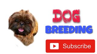 Dog Breeding ( ShihTzu) with the assistance of dog shooter