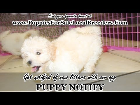 SHIH POO PUPPIES FOR SALE, GEORGIA LOCAL BREEDERS, NEAR ATLANTA, GA