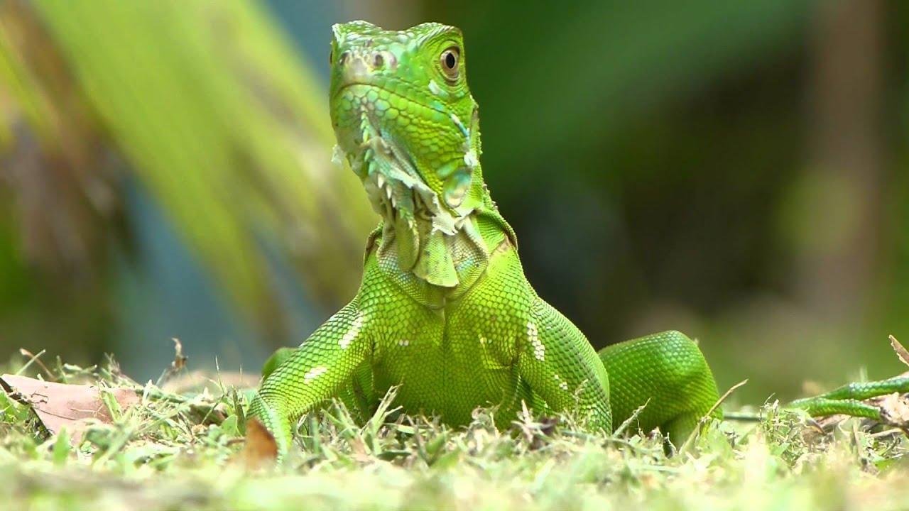 gruener leguan green iguana costa rica youtube