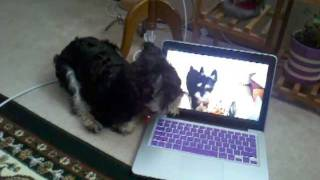 Miniature Schnauzer Howls In Reaction To Youtube
