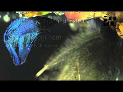 Siamese Fighting Fish HD Stock Video Footage 4