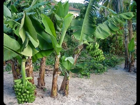 Como plantar banana passo a passo youtube for Posso ipotecare terra