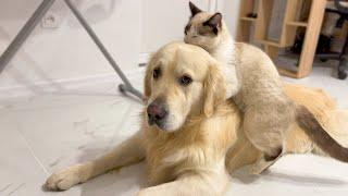 Funny Cat vs Cute Golden Retriever Dog