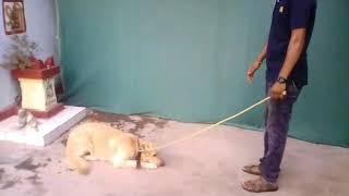 Shivay Dog Training Centre, Morshi, Amravati. 9552781420(Prashant Chare).