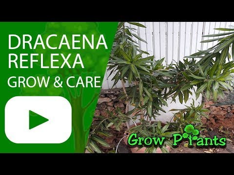 Dracaena reflexa - growing & care
