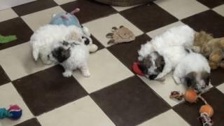 Little Rascals Uk Breeders New Litter Of Poochon Puppies