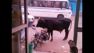 Bull Fucks a Bike...