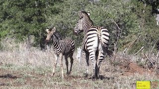 Shame - Baby Zebra With Broken Leg Looking For Its Mom