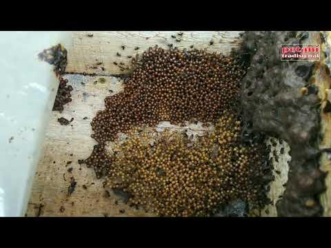 Cara Ternak Lebah Madu || Pemula Wajib Tahu