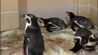 humboldt-penguins-at-miyajima-public-aquarium