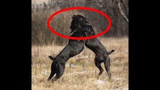 питбуль против кане-корсо какая собака круче ??? Pitbull vs Cane Corso