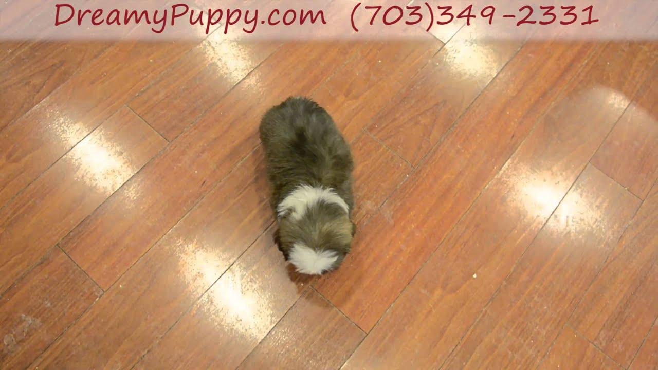 Gorgeous Toy Blue Eyed Shih Tzu Female Puppy Youtube