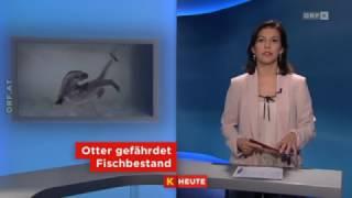 Fischotter sorgt weiter für Diskussionen ORF Kärnten heute