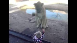 Дикие кошки в зоопарке, хорошо что есть стекло
