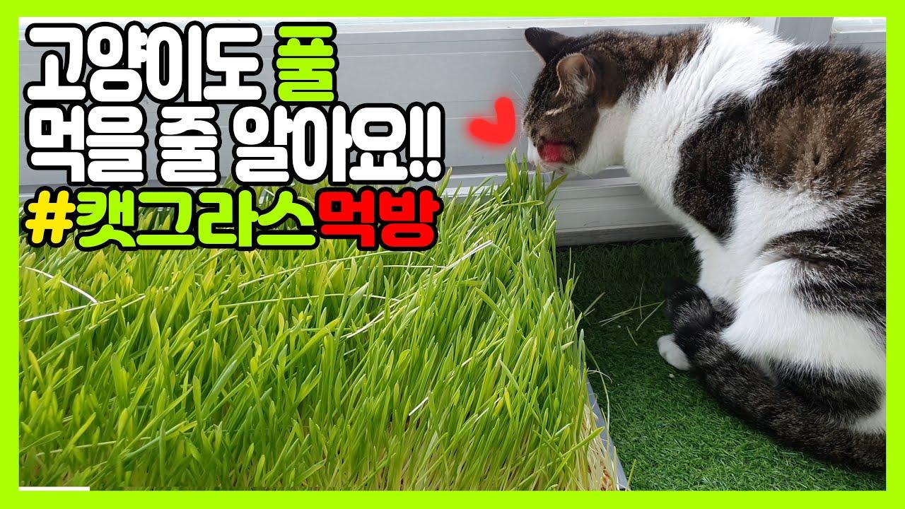 고양이들이 먹을 수 있는 풀! 캣그라스 먹방! 기호성은 냥바냥~