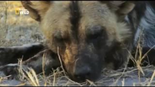 Хищные животные  Приключения в Дикой Африке  Гиеновидные собаки  Документальный