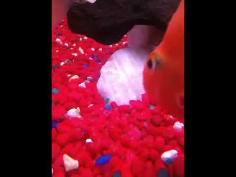 Aninimal Book: Breeding Pair of Blood Parrot Cichlid Fish laying and G ...
