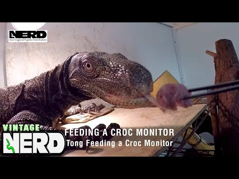 Crocodile Monitor Feeding Time