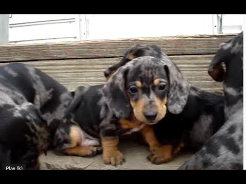 Mini Dachshund Blossom And Her Silver Dapples Babies 2009