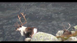 Reinsdyrjakt i Sirdal 2014 (Reindeer hunting in Norway)
