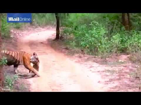 Hổ giết chết báo đốm chỉ trong nháy mắt