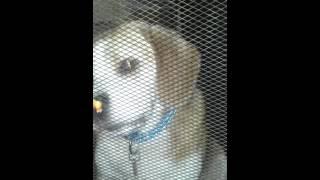 Testing A Beagle's Intelligence..