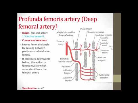 Anatomy: Blood Vessels of the lower limb (Dr.Elsayed Metwally) - YouTube