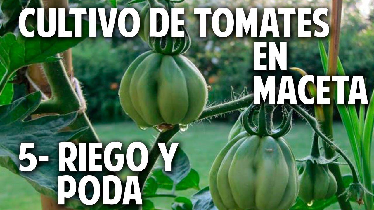 cultivo de tomate parte regar podar y atar youtube