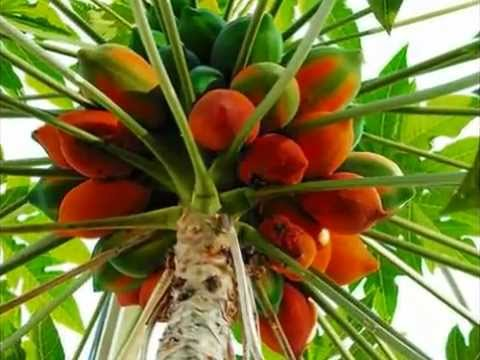 Most Expensive Fruit In Kerala22 Fruits Of Kerala Tast Kasara India Rip Am