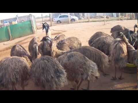 Emu S.L.M Farm, EMU Farming Bangalore, karnataka. Phone: +91 - 9900146329.