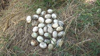 Đi Lụm Trứng Vịt Ở Ngoài Ruộng Thấy Mà Ham Luôn!