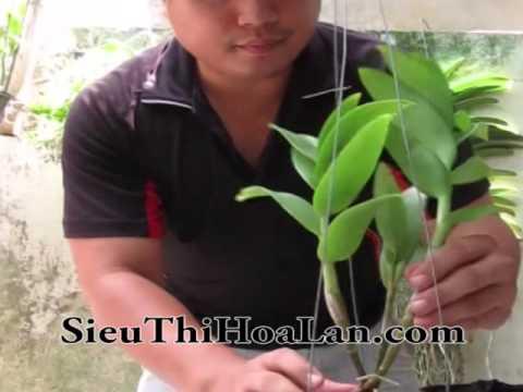 Cách trồng lan DENDRO CÂY LỚN vào CHẬU