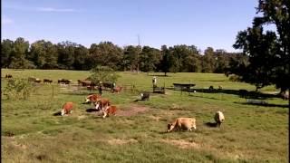 Herding cattle - Rassemblement et triage des vaches