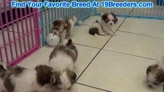Morkie Puppies For Sale Local Breeders