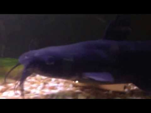 """7/10/15 STOCKING BLUE & """"SILVER"""" CHANNEL CATFISH AT SANTA ANA RIVER LAKES from YouTube · High Definition · Duration:  5 minutes 53 seconds  · 844 views · uploaded on 7/11/2015 · uploaded by fishinglakesdotcom"""