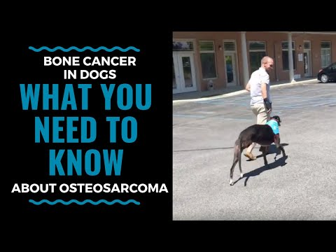 Bone Cancer In Dogs What You Need To Know About Osteosarcoma (part 1) VLOG 71