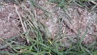 Выращивание озимой пшеницы.  No-till  14.01.2018 . Подкормка озимой пшеницы  селитры