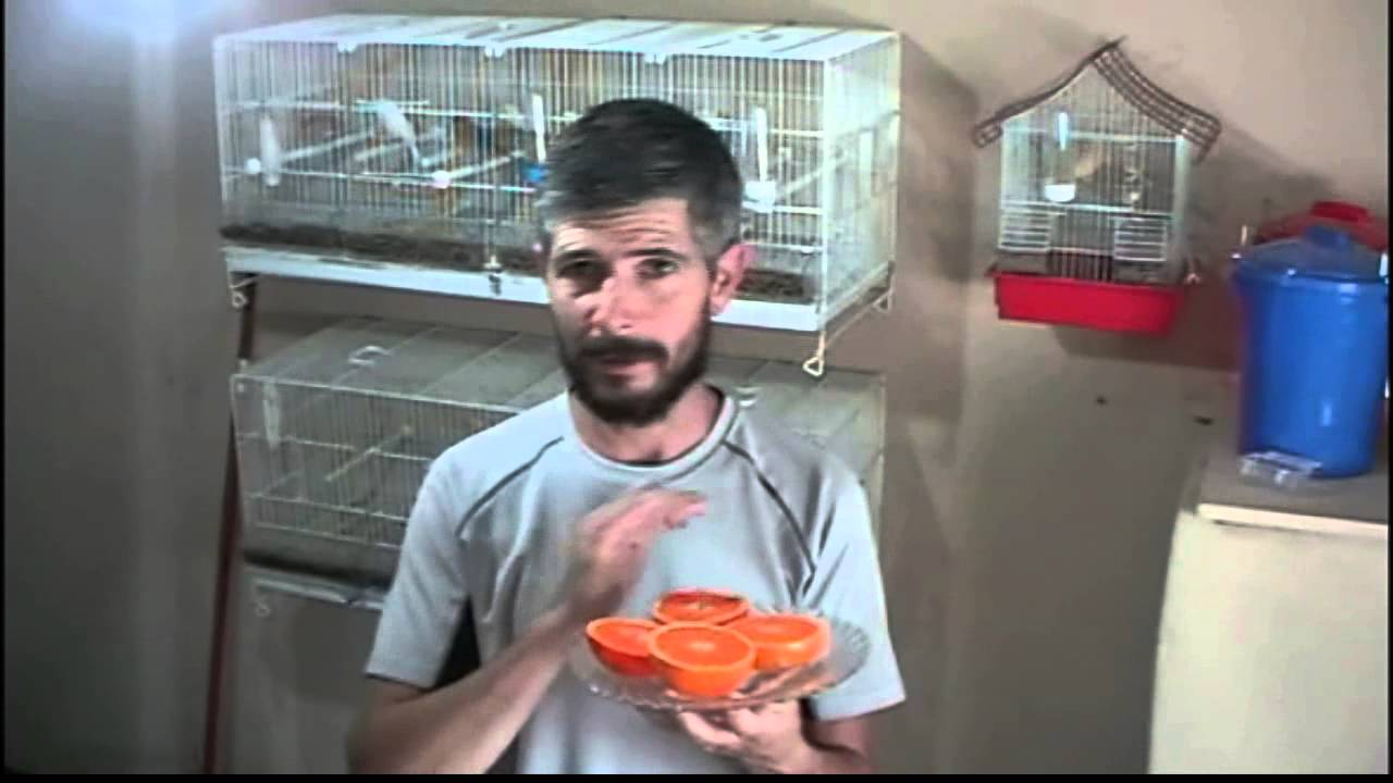 La cria de canarios alimentacion con naranja youtube for Criadero de cachamas en tanques