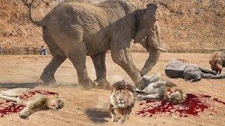 most amazing wild animal atta lion tiger zebra attack deer crocodile fights