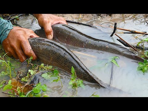 National Fishing - Catfishes & Mud Fishing In Cambodia Tradition Use Plastic Basket In Running Water