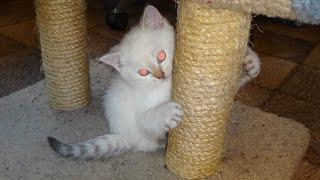 Шотландский котенок скоттиш-страйт Колор поинт Scottish kitten Straight Color Point