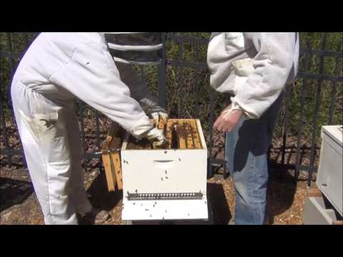 My bees are exploding in population - all colonies survived the winter!