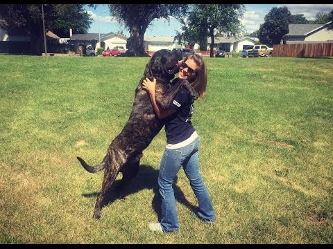 1.5YR OLD ENGLISH MASTIFF 'BOCEPHUS', 2 WEEK BOARD AND TRAIN PROGRAM