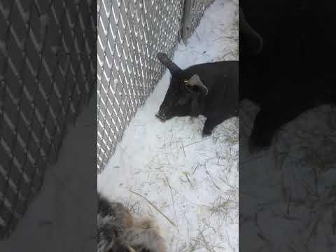 Aussiedoodle gets bit by a pig