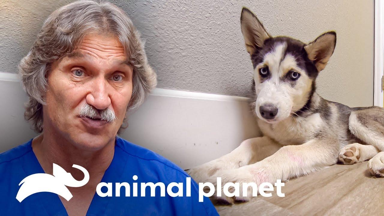 2 Adorables cachorros que sobrevivieron al parvovirus | Dr. Jeff, Veterinario | Animal Planet