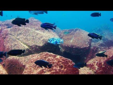 Maingano Island Lake Malawi - African Cichlids - HD Underwater Footage