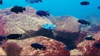 Maingano Island Lake Malawi - African Cichlids - HD Underwater Footage thumbnail