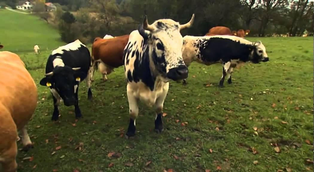 Schulfilm-DVD: Das Rind (DVD / Vorschau) - YouTube